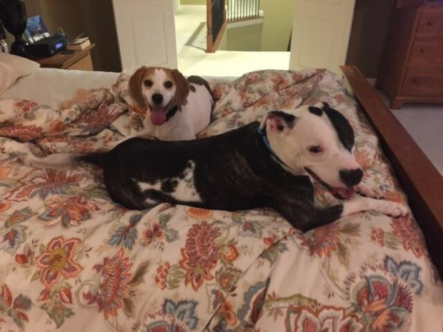 Success Story:: Little Annie! (Beagle)